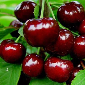 黑珍珠樱桃