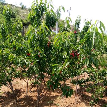 二年樱桃树
