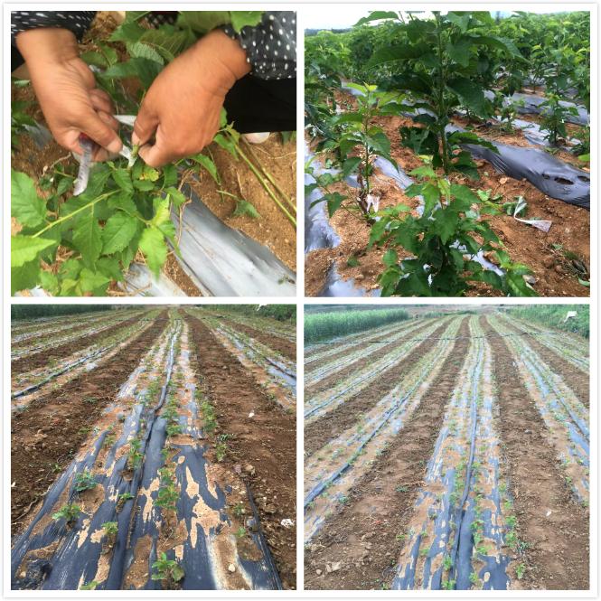 烟台大樱桃苗种植基地