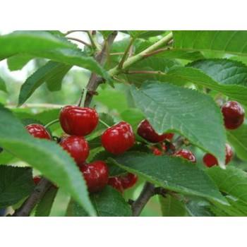 红南阳樱桃