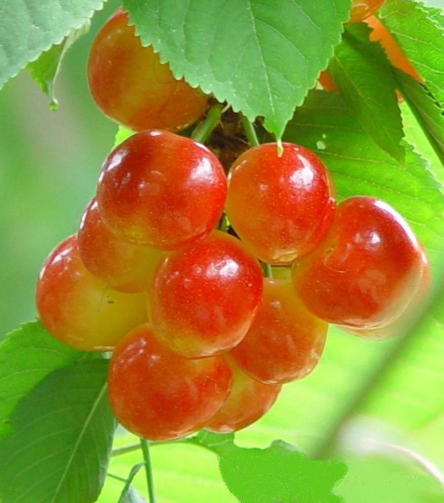雷尼尔樱桃