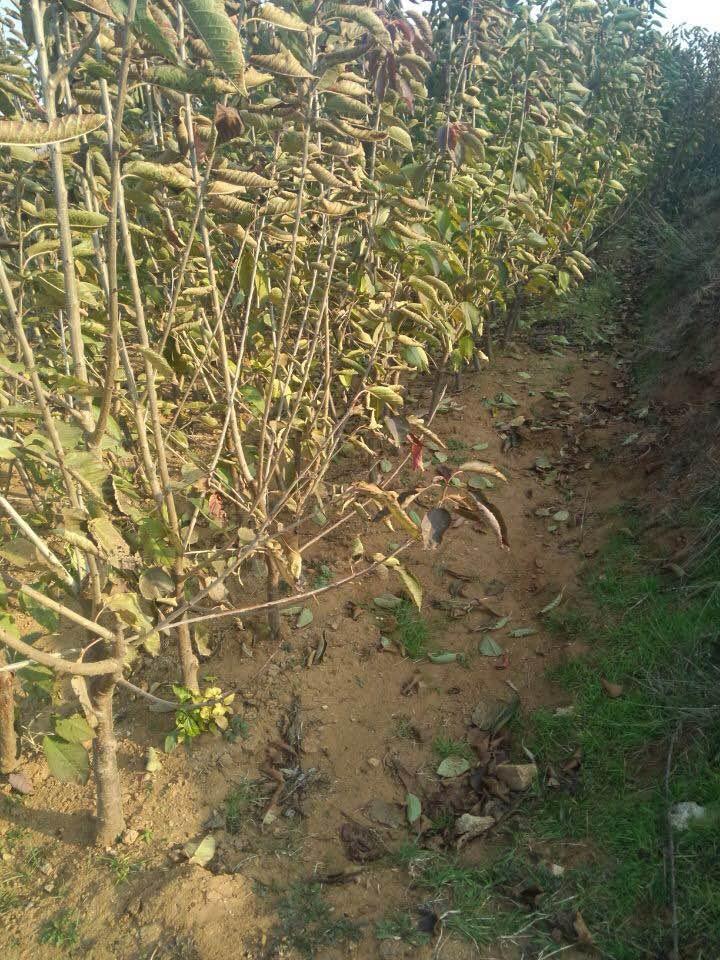 3公分大櫻桃樹苗