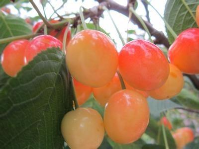 冰糖櫻大櫻桃