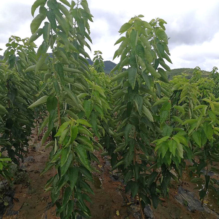 一年大樱桃苗种植基地