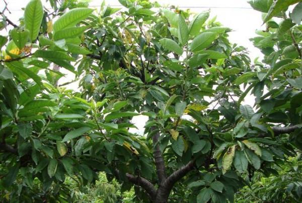 占地大樱桃树种植基地