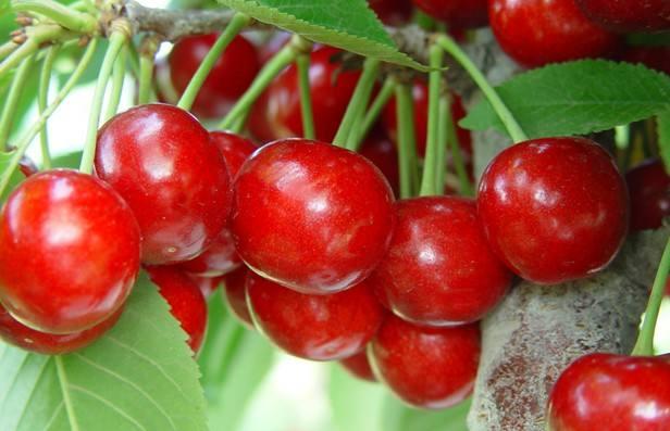 佳红大樱桃