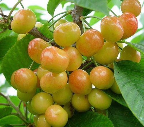 冰糖樱大樱桃
