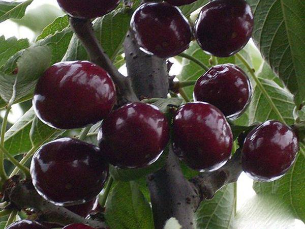 黑珍珠大樱桃