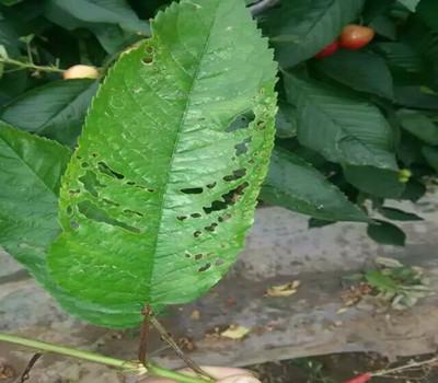 大樱桃树穿孔病防治