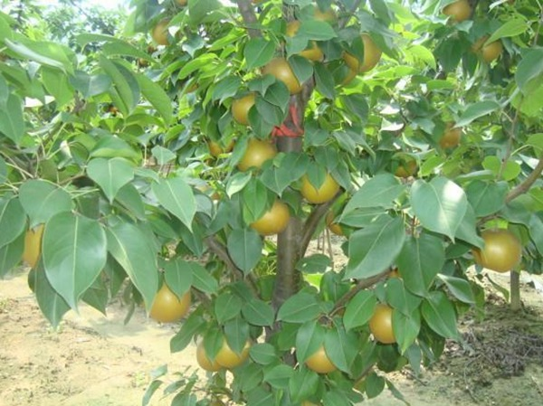 秋月梨樹苗