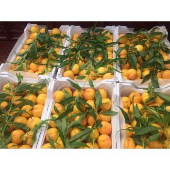 立夏紅油桃