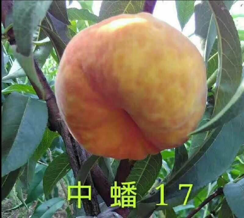 中蟠17桃苗