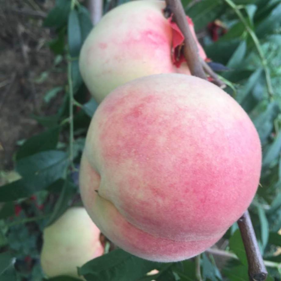 金秋紅蜜桃