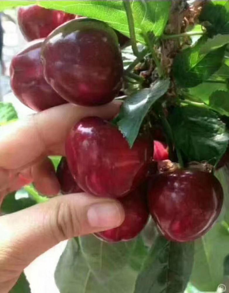 福星大櫻桃