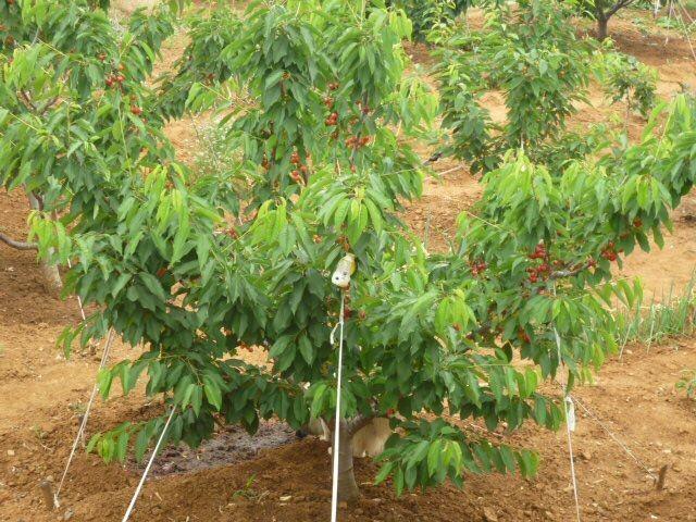 六年櫻桃樹