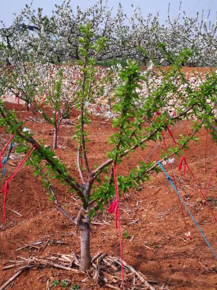 矮化櫻桃苗