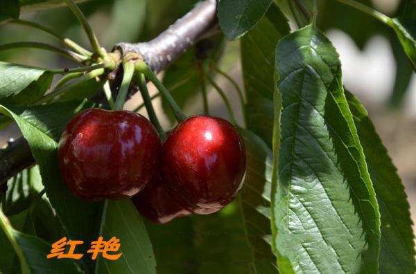 红艳大樱桃