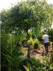 造型槐树2