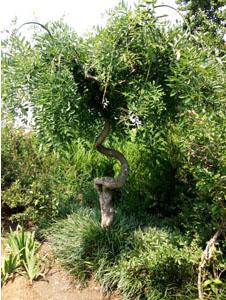 造型槐树3