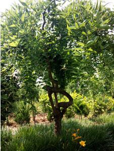 造型槐树4