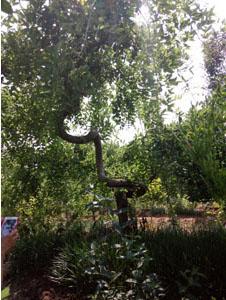 造型槐树5