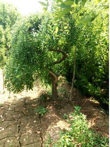 造型槐树6