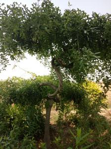 造型槐树7