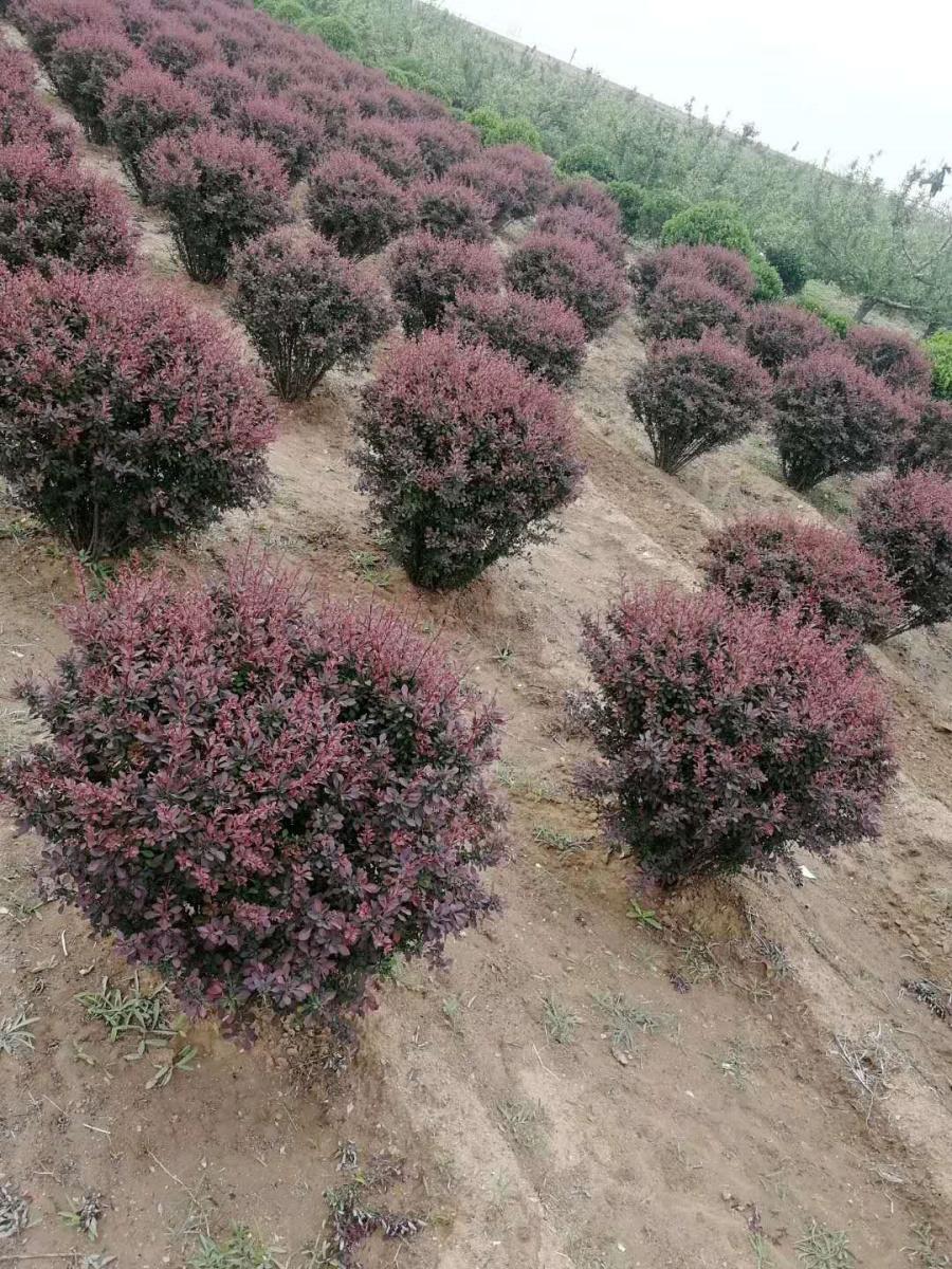 紫葉小檗1