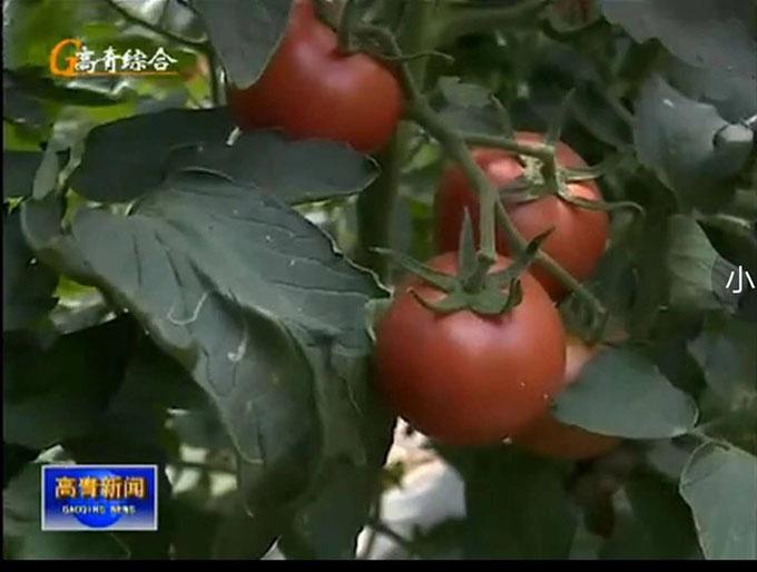 喷施硅肥 西红柿4