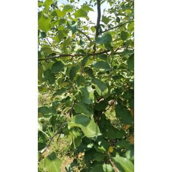 喷施硅肥 果树