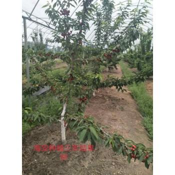 海安种植三年结果树