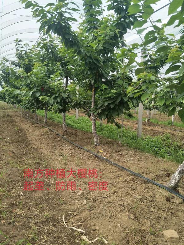 南方种植大樱桃起垄防雨密度