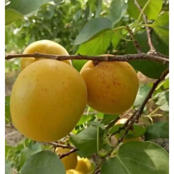 荷蘭香蜜杏