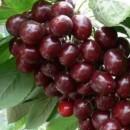 桑提那大樱桃(早熟品种)