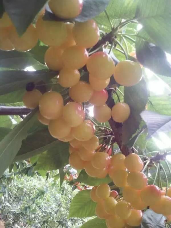 白玉大樱桃