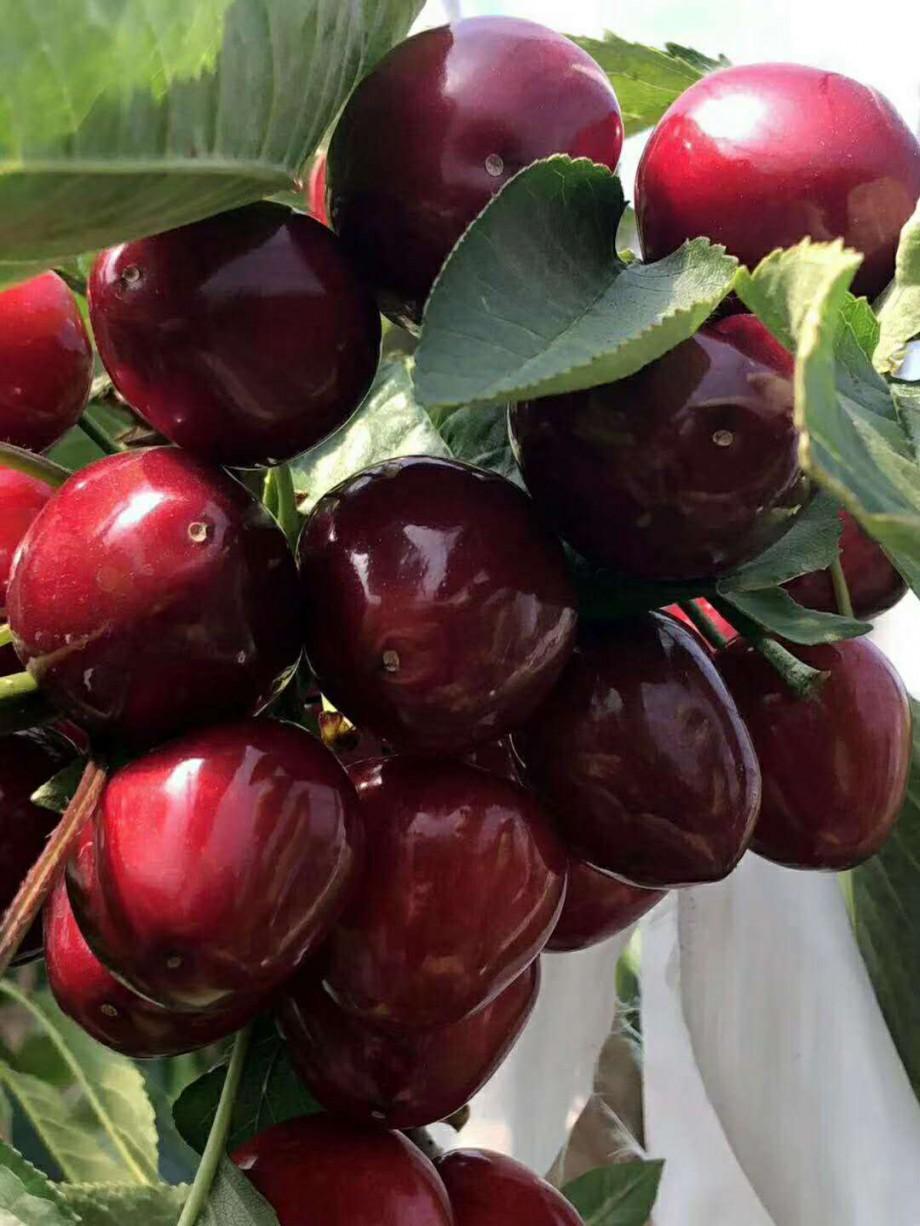 樱桃品种美早