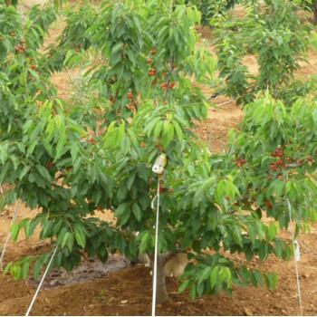 大樱桃树苗