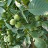 昊林核桃树