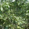 昊林核桃树苗