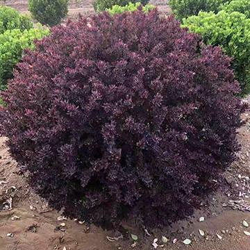 紫葉小檗球